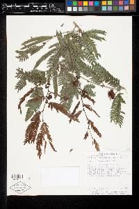 Calliandra magdalenae image