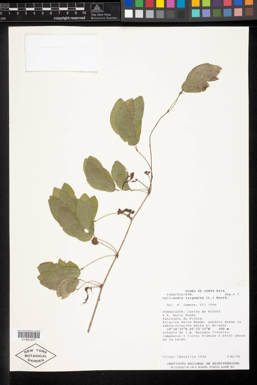 Calliandra tergemina image