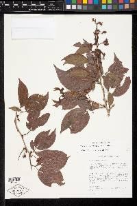 Calliandra trinervia image