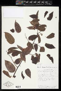 Dalbergia brownei image
