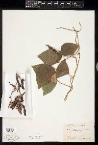 Calopogonium caeruleum image