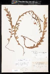 Chamaecrista diphylla image