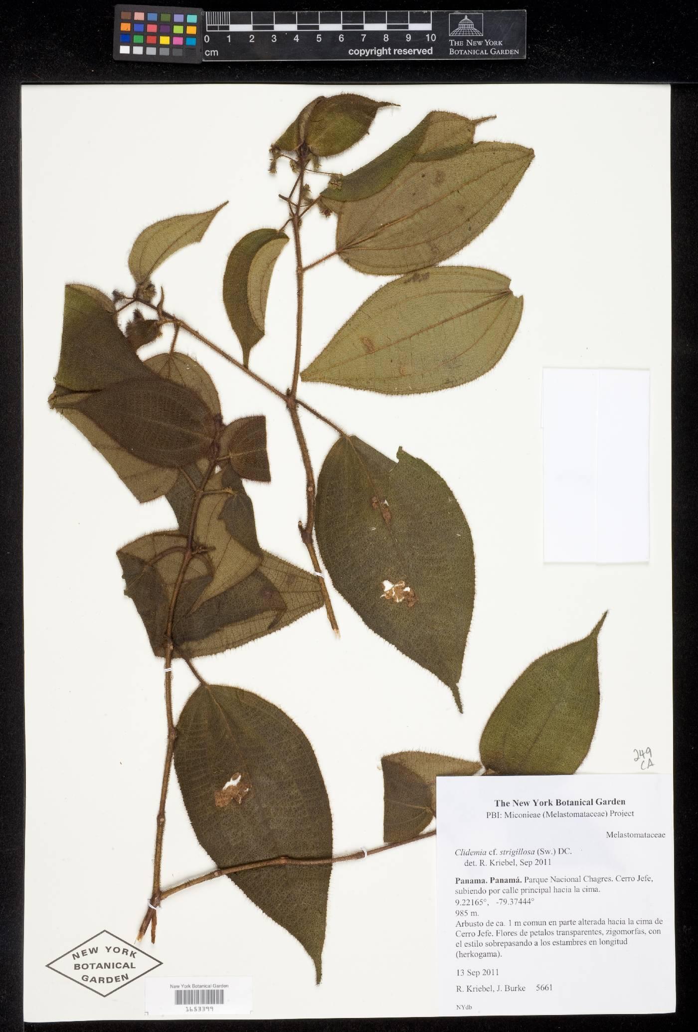Clidemia urceolata image