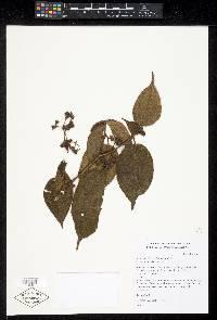 Image of Clidemia urceolata