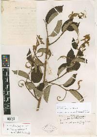 Gouania hypoglauca image