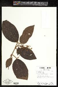 Leandra longicoma image