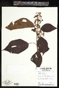 Leandra grandifolia image