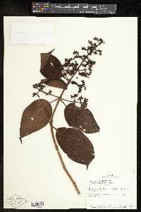 Leandra granatensis image