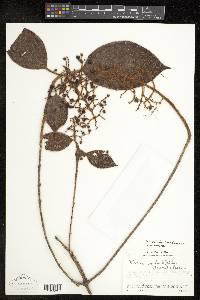 Leandra dichotoma image
