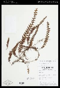 Image of Hymenophyllum sieberi