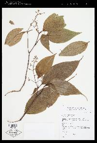 Leandra lasiopetala image
