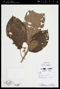 Image of Conostegia setifera