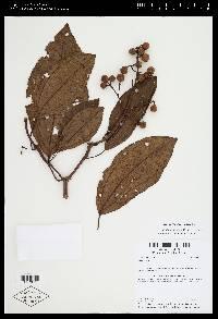 Conostegia oerstediana image