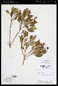 Miconia biperulifera image