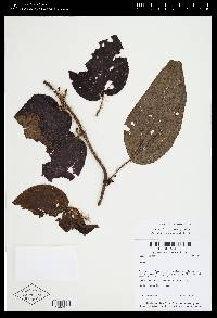Clidemia setosa image