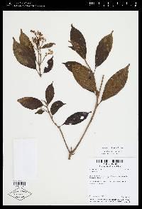 Conostegia micrantha image