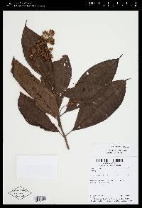 Conostegia rufescens image