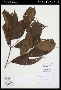Conostegia tenuifolia image