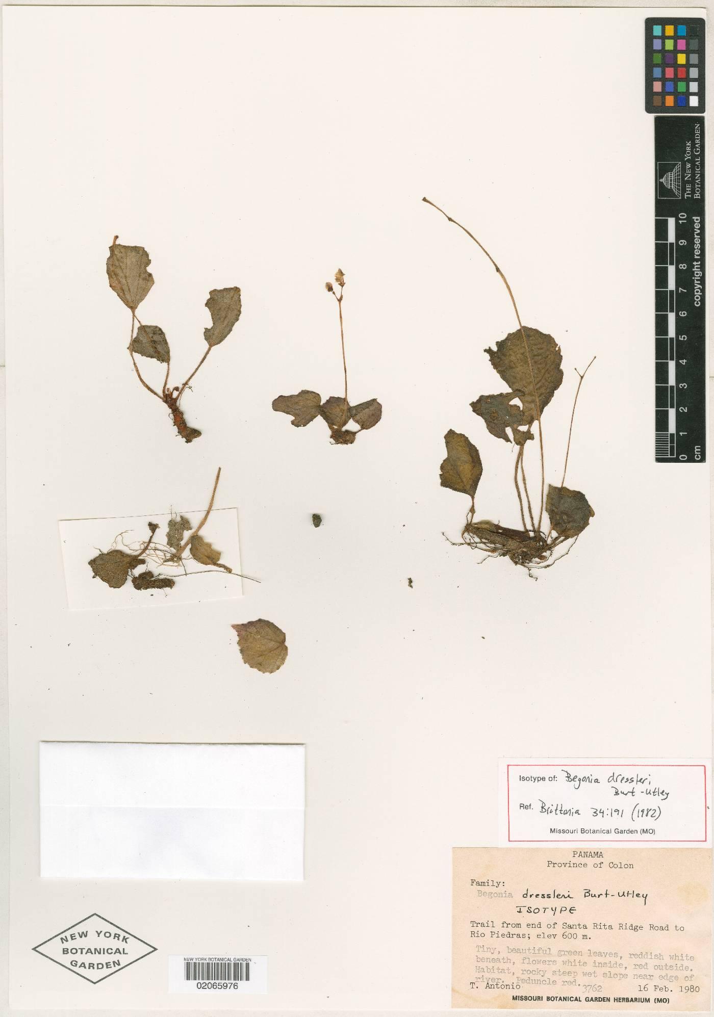 Begonia dressleri image