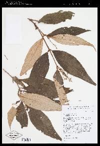 Miconia centrosperma image