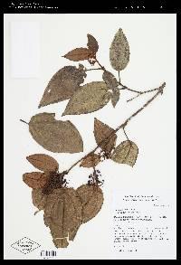 Miconia peltata image