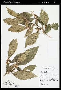 Clidemia trichosantha image