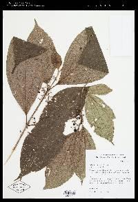 Image of Clidemia hammelii
