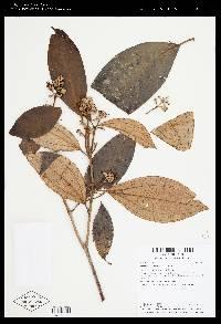 Miconia holosericea image