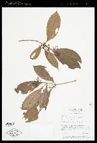 Conostegia cinnamomea image