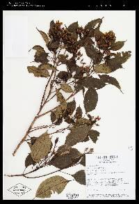 Image of Conostegia pittieri