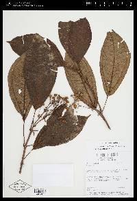 Conostegia icosandra image