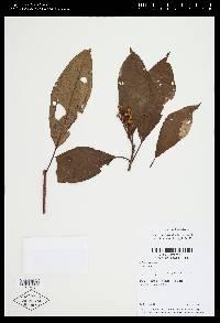 Image of Conostegia icosandra