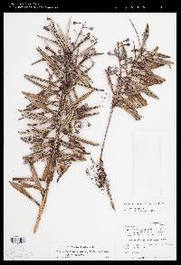 Anthopterus revolutus image