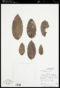 Eschweilera amplexifolia image