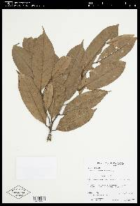Eschweilera longipedicellata image