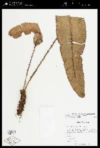 Elaphoglossum erinaceum image