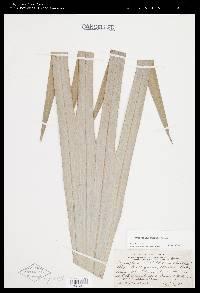 Cryosophila guagara image