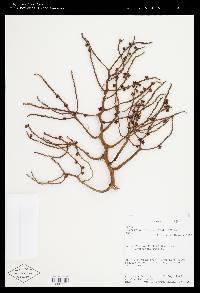 Cryosophila warscewiczii image