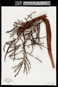 Colpothrinax aphanopetala image