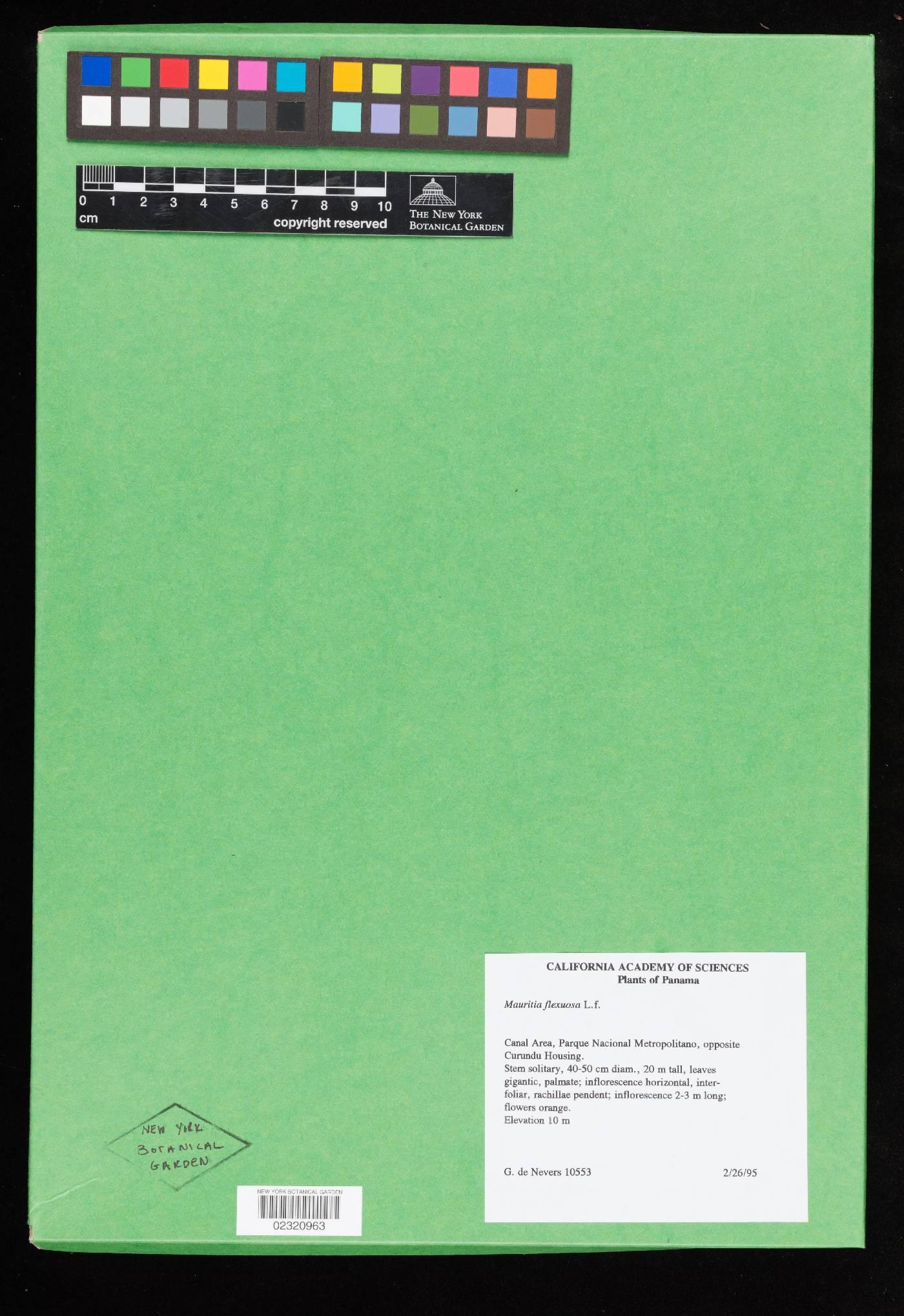 Mauritia flexuosa image