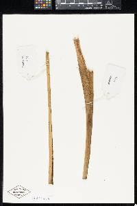 Synechanthus warscewiczianus image