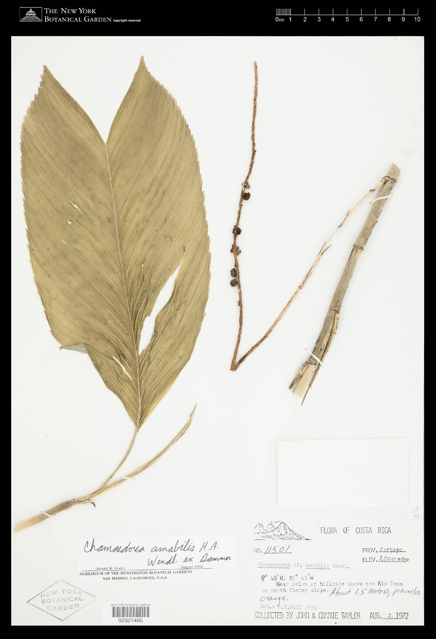Chamaedorea amabilis image