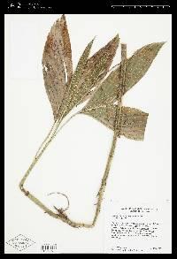Chamaedorea correae image