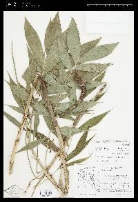 Chamaedorea dammeriana image