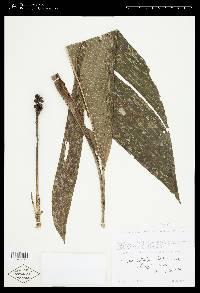 Chamaedorea deckeriana image