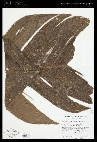 Chamaedorea deneversiana image