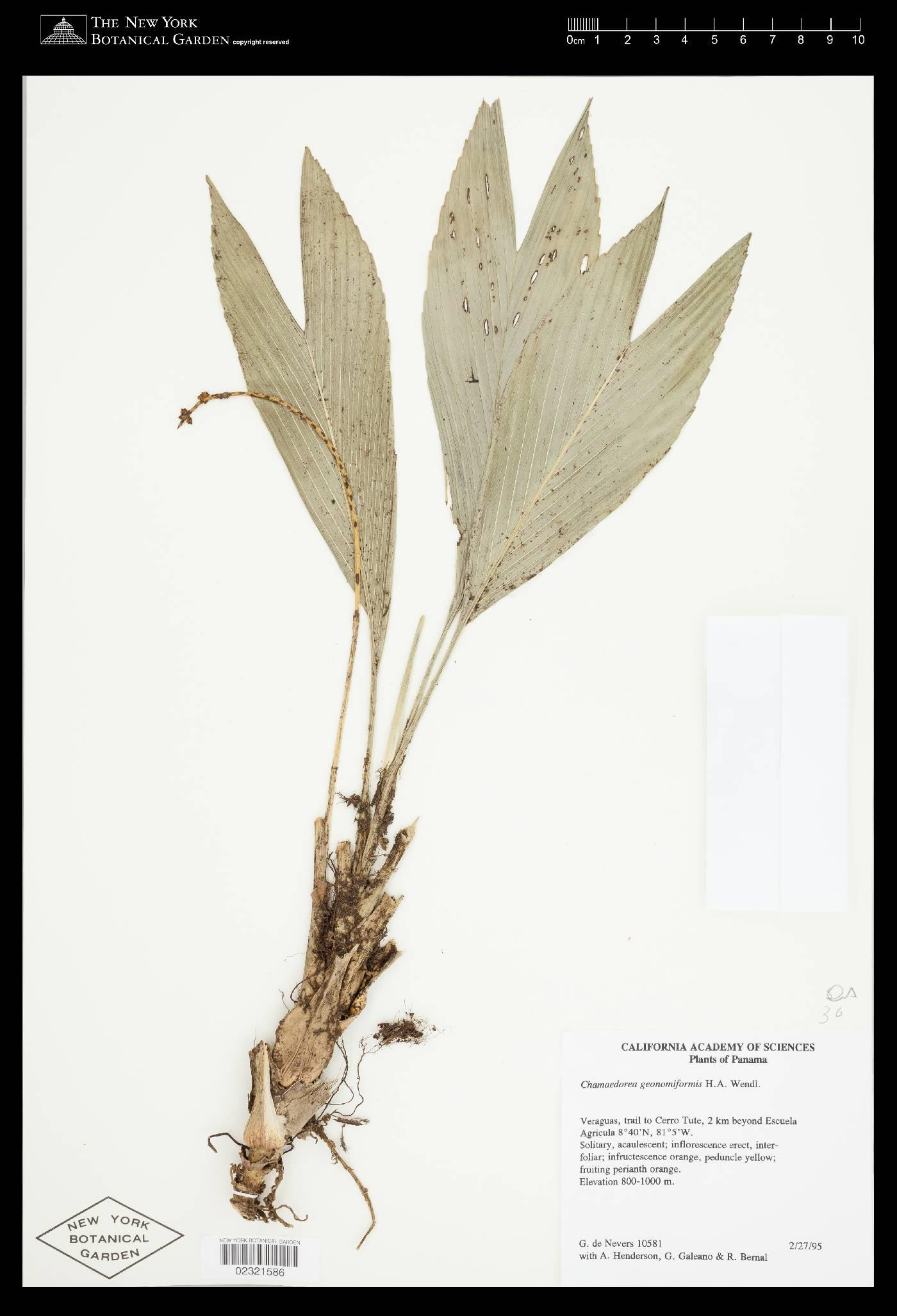 Chamaedorea geonomiformis image