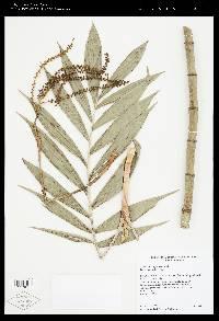 Chamaedorea pinnatifrons image