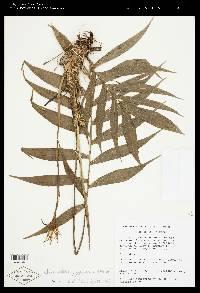 Chamaedorea pygmaea image