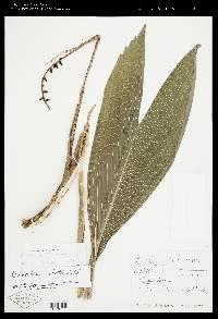 Chamaedorea robertii image